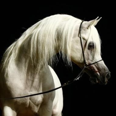 cavallo-arabo-purosangue-bianco