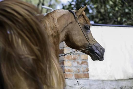 stallone purosangue arabo gr marvel back