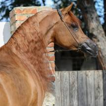stallone purosangue arabo gr marvel destra