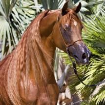stallone purosangue arabo gr marvel fronte