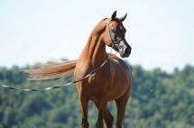 stallone purosangue arabo gr marvel longe