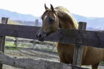 stallone purosangue arabo gr marvel paddok