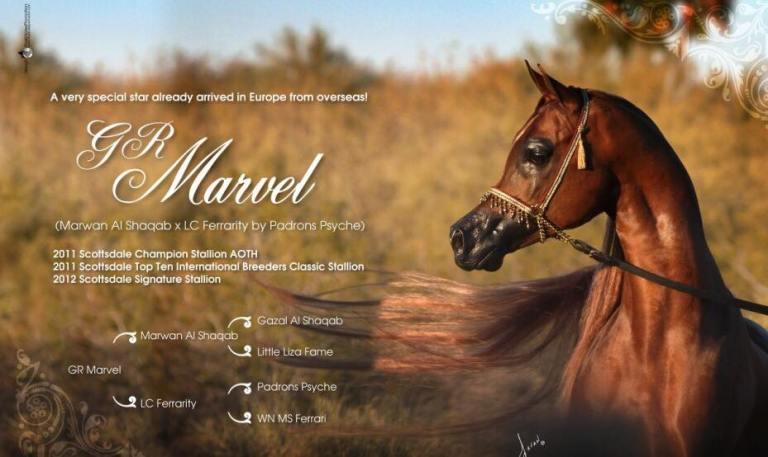 stallone purosangue arabo gr marvel pedigree