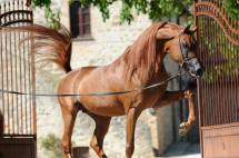 stallone purosangue arabo gr marvel