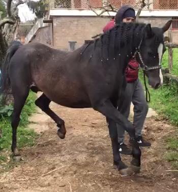 tr-sultan-brenda-fattrice-purosangue-araba-1